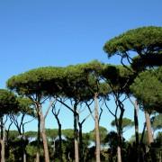Models de gestió per a les pinedes de pi pinyer (Pinus pinea L.)