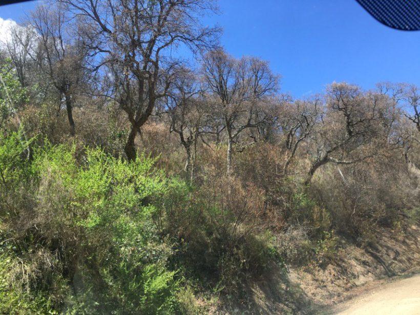 Fortes afectacions de l'oruga del suro (Lymantria dispar) al Montnegre i el Corredor 2019